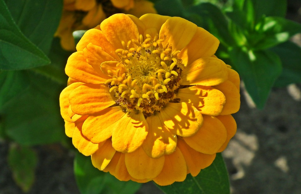 Nature, Flower, Zinnia, Yellow, Plant, Garden, Summer