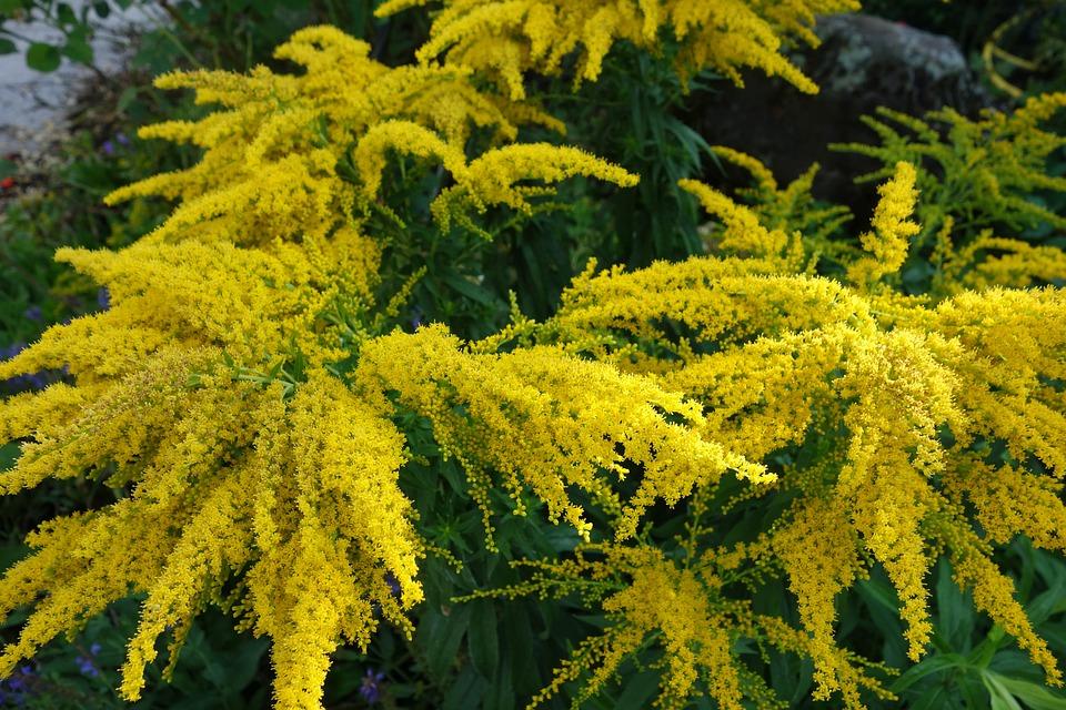 Golden Rod, Garden, Plant, Nature, Yellow, Flowers