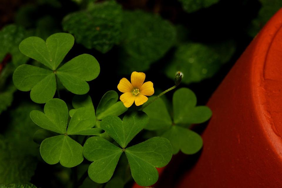 Free photo plant yellow green clover pot leaf flower max pixel clover flower pot green yellow leaf plant mightylinksfo