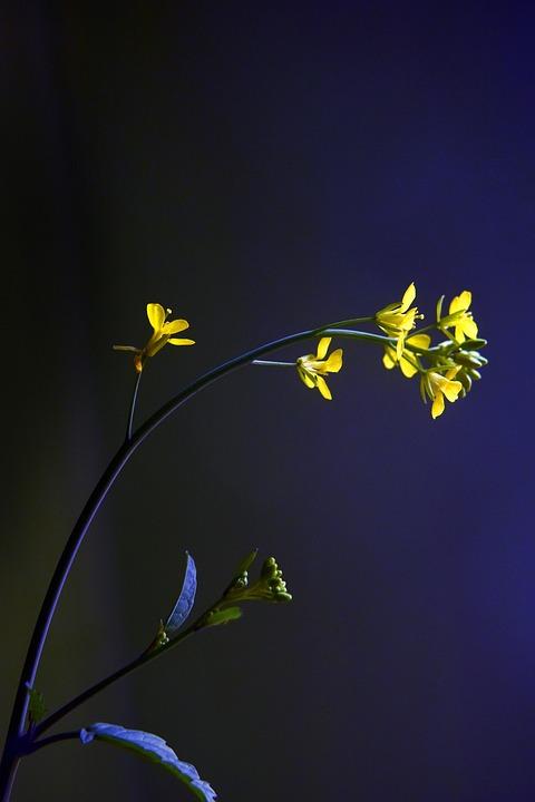 Mustard, Flower, Yellow, Nature, Plant
