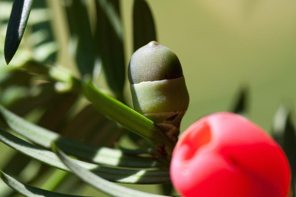 Yew, Taxus, Plant, Bush, Periwinkle, Yew Family