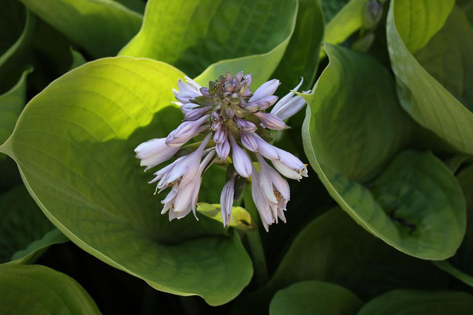 Plantain Lilies, Botany, Growth, Hosta, Herbaceous