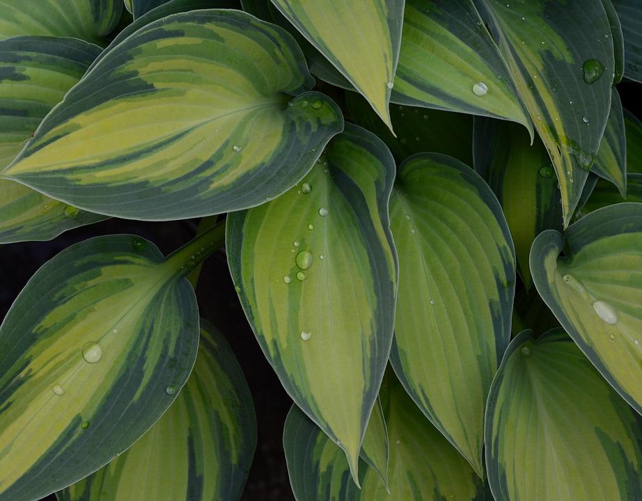 Plantain Lily, Hosta, Wide Brim, Green, Leaf, Leaves