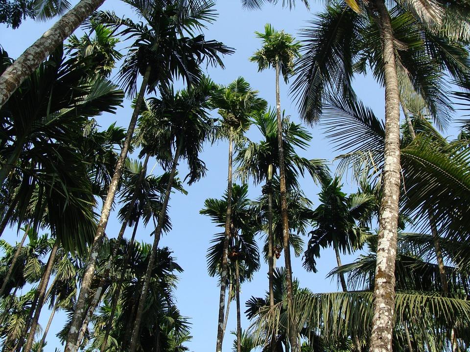 Arecanut, Betelnut, Orchard, Plantation, Malnad