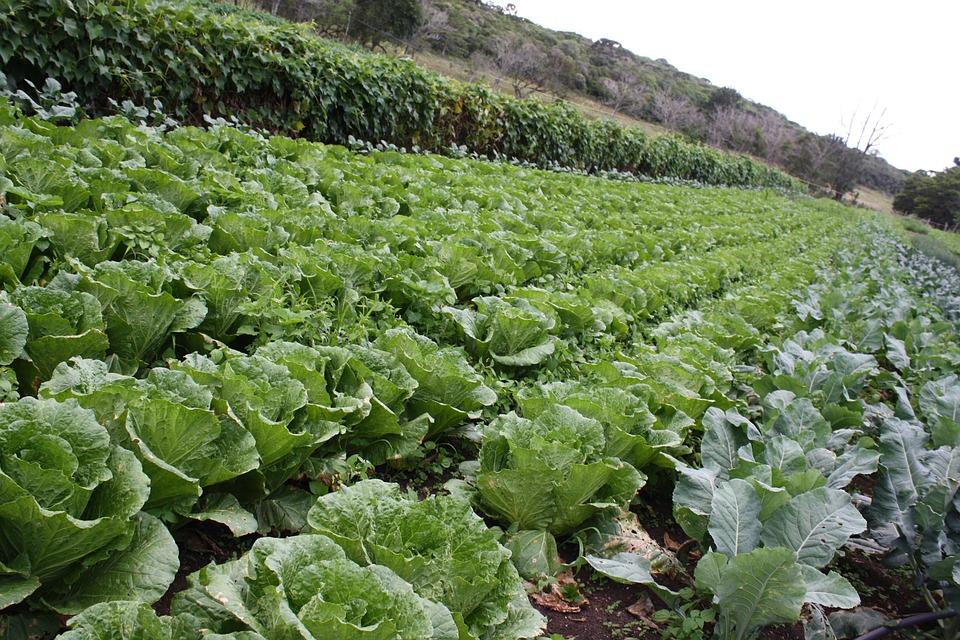 Plantation, Lettuce, Roça, Green