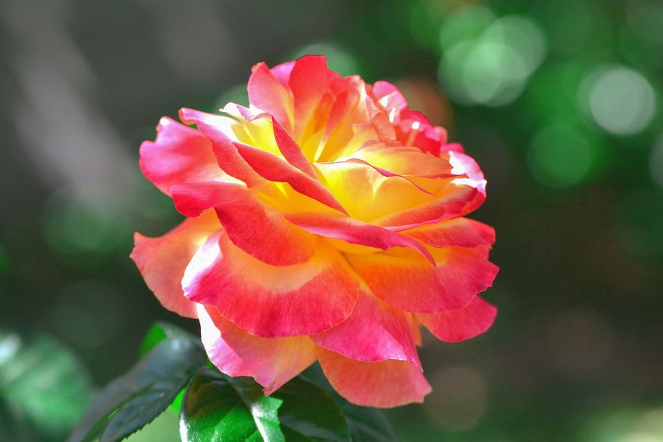 Nature, Flower, Flora, Leaf, Garden, Rose, Plante