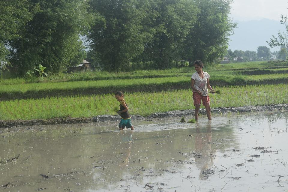 Rice Planting, Planting Rice, Planting
