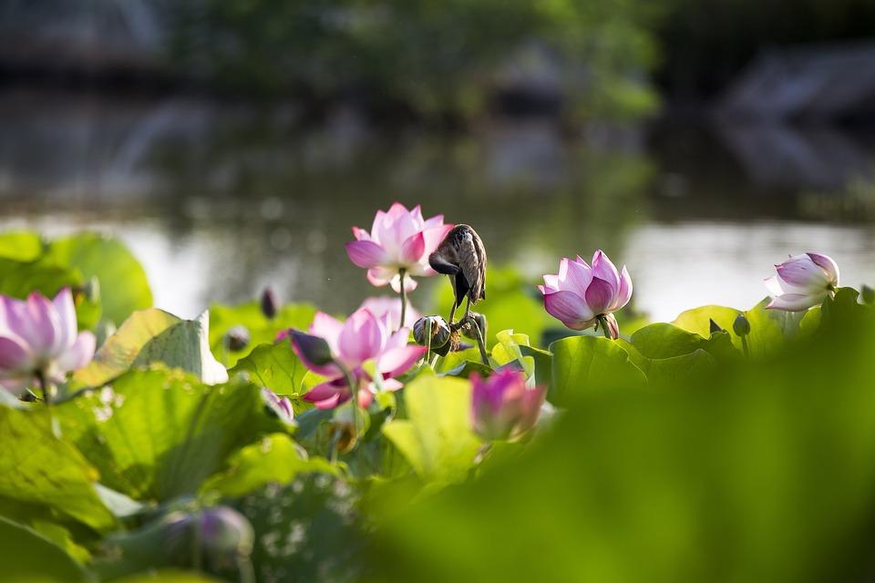 Birds, Lotus, May Flower Season, Vibrant Colors, Plants