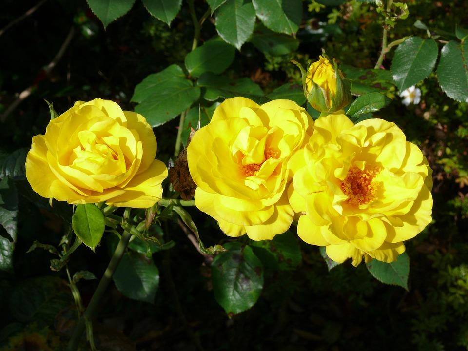 Rose, Floral, Plants, Natural, Blossom, Bloom, Petals