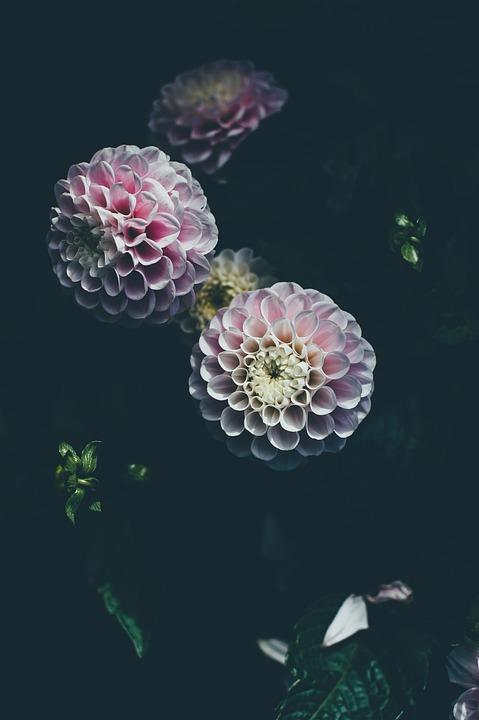 Bloom, Blossom, Flora, Flowers, Garden, Leaves, Plants