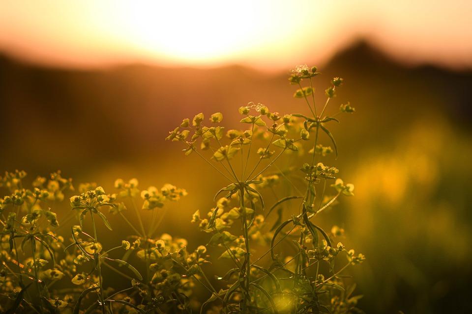 Flowers, Plants, Sunset, Yellow Flowers, Bloom