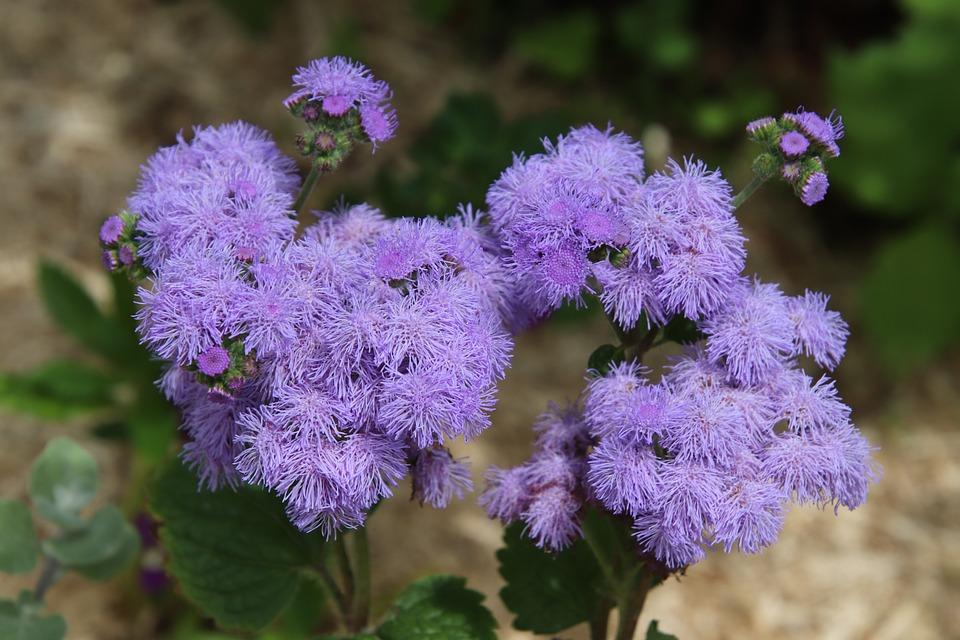 Ageratum, Plants, Annual Plants, Flowers, Blue, Garden