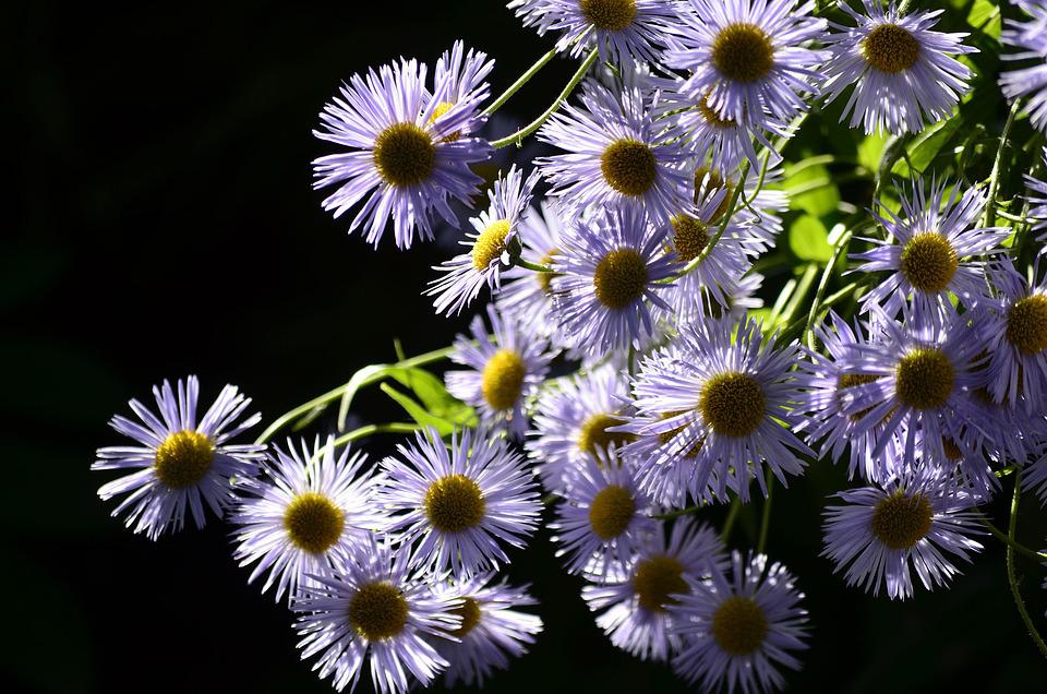 Flowers, Plants, Nature, Summer, Bright, Lilac, Closeup