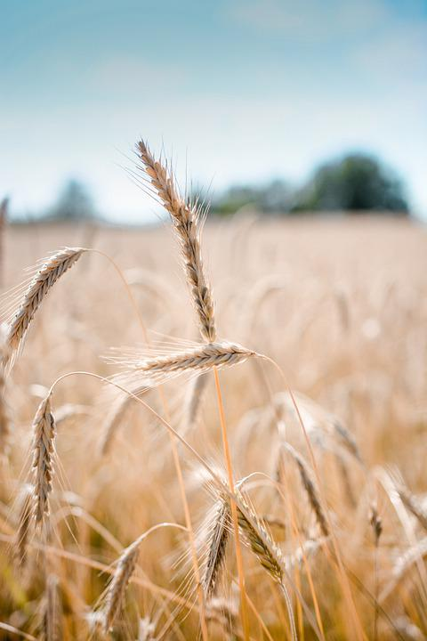 Wheat, Crop, Field, Barley, Cereal Grains, Farm, Plants