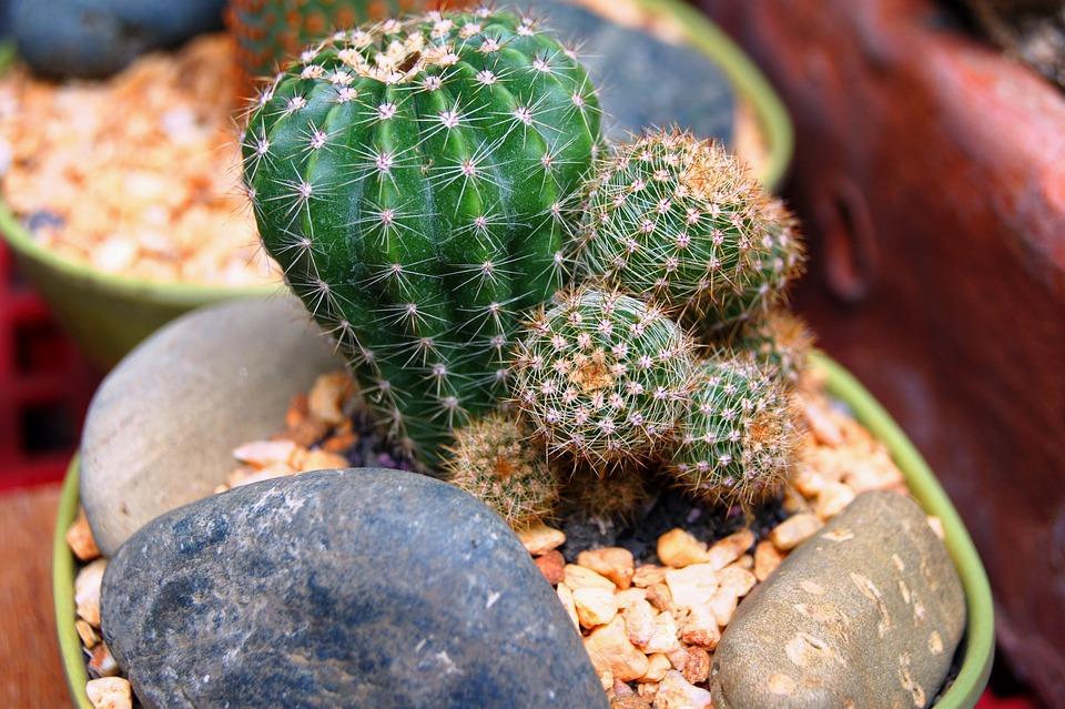Nature, Food, Flora, Cactus, Closeup, Plants