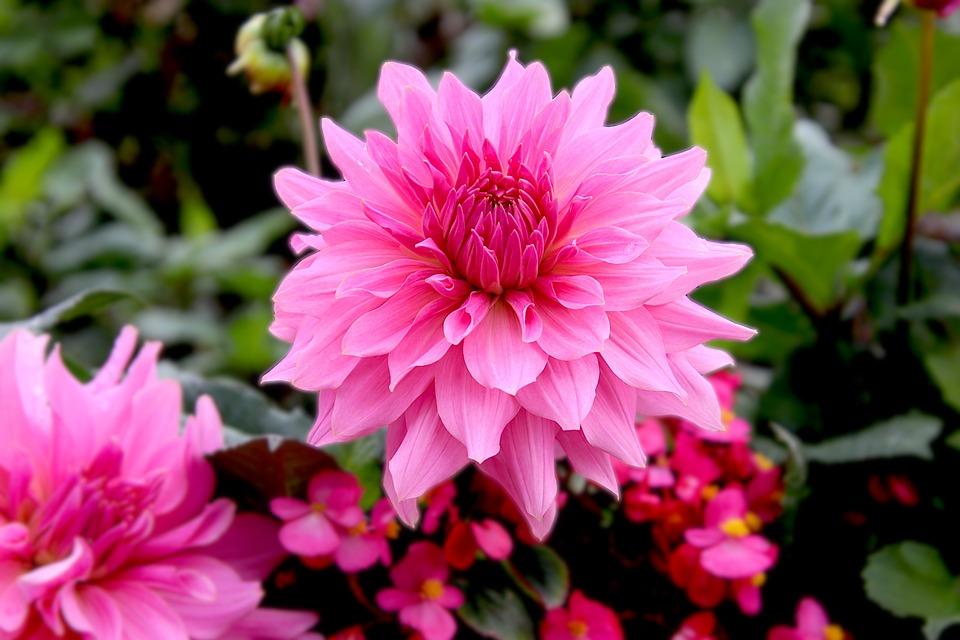 Dahlias, Color Pink, Flowers, Plants, Garden, Gardening