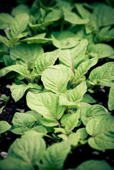 Potato, Plants, Leaves, Potato Cultivation, Cultivation
