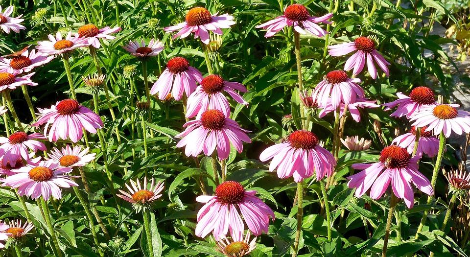 Echinacea, Plants, Flowers