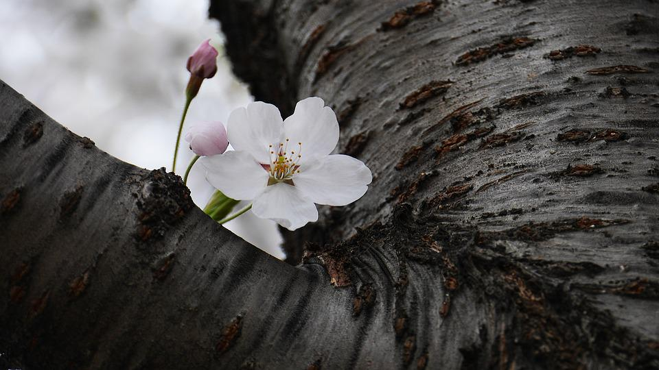 Cherry Flowers, Nature, Plants, Environment