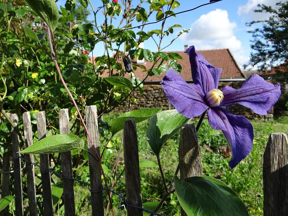 Garden, Clematis, Flower, Petals, Green, Plants, Violet