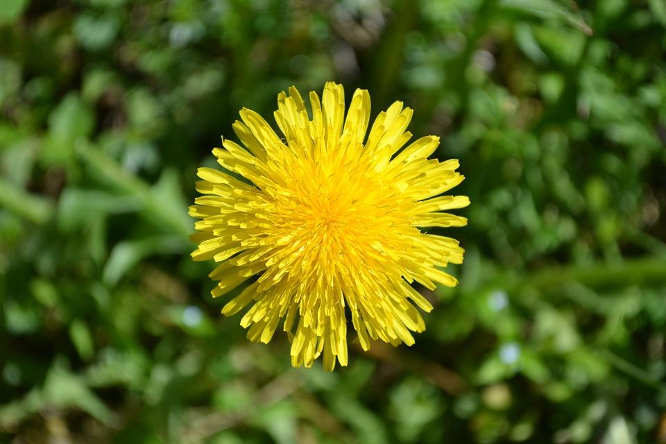 Dandelion, Flower, Garden, Plants, Plant, Spring