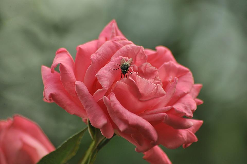 Fly, Rose, Pink, Flower, Bloom, Garden, Summer, Plants
