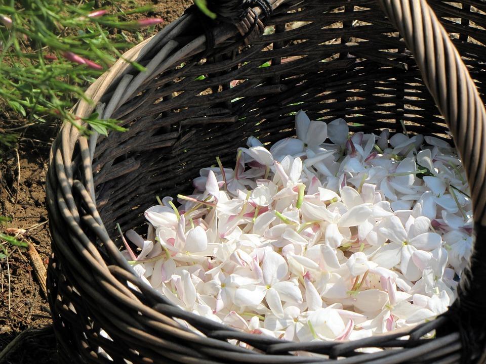 Flower, Plant, Plants Flowering, Summer, Jasmine, Fat