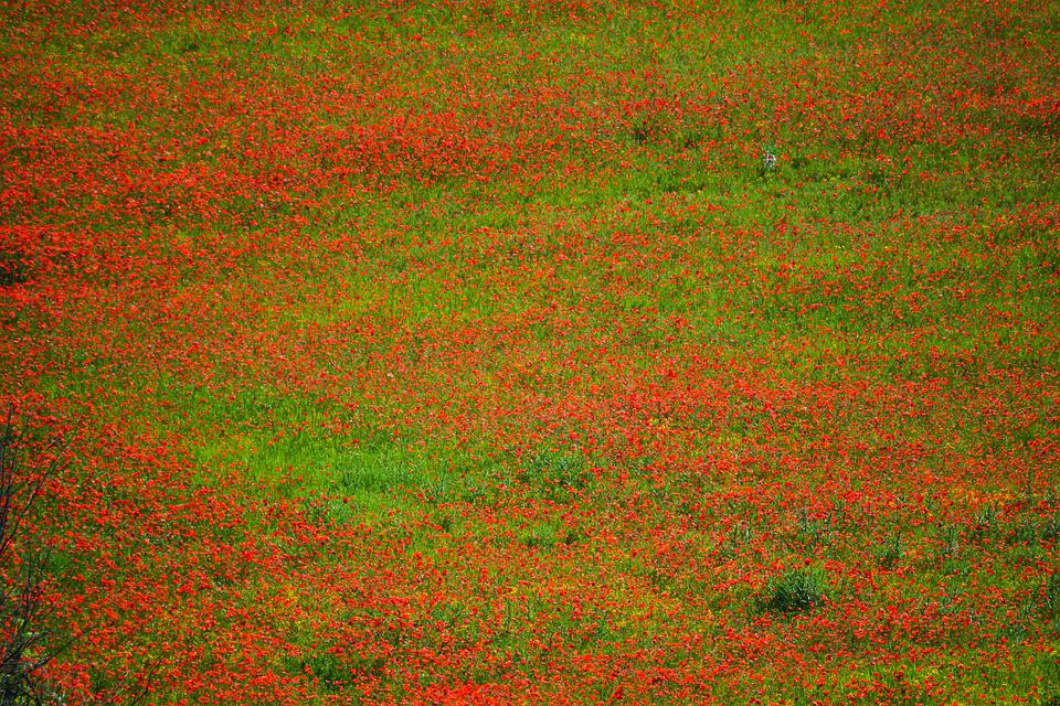 Poppies, Flowers, Field, Red Flowers, Plants, Flora