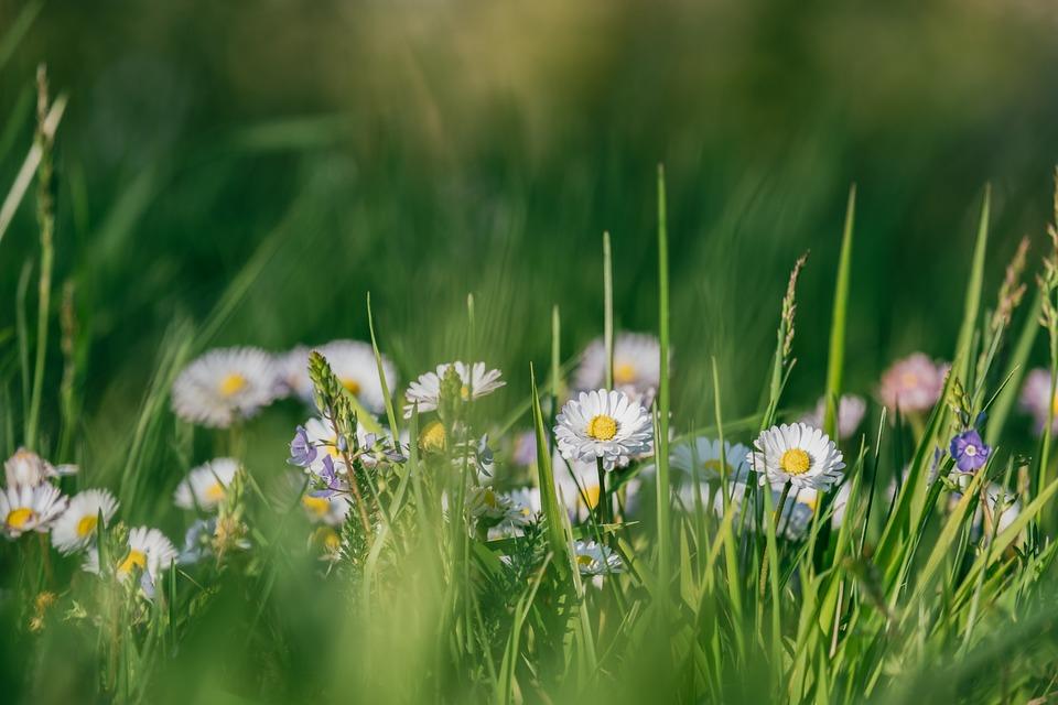 Flowers, Daisy, Plants, White Flowers, Asteraceae