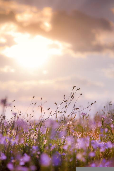 Flowers, Plants, Sunset, Meadow, Grass, Grassland