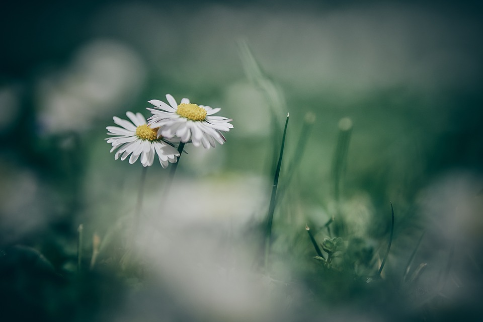 Flower, Nature, Spring, Plants, Daisy, Green, Floral