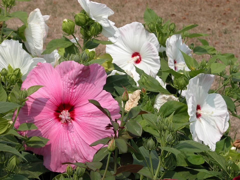 Free photo plants hibiscus white flowers pink tropical max pixel hibiscus flowers pink white tropical plants mightylinksfo