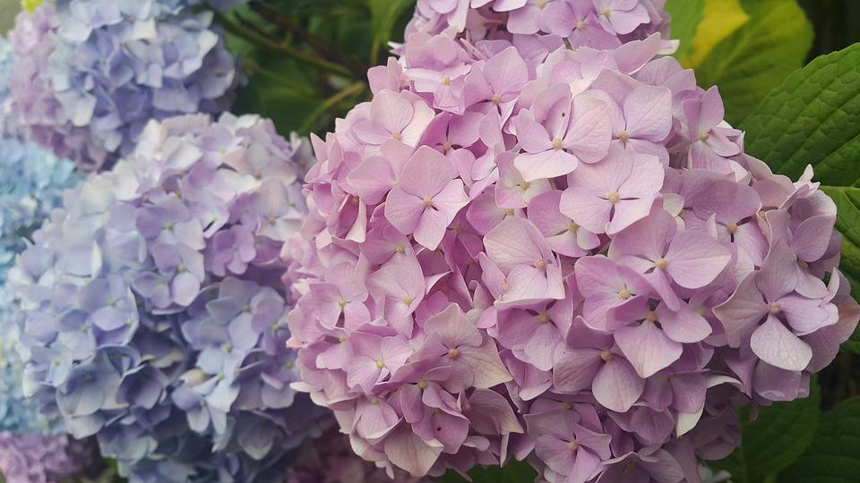 Hydrangea, Petal, Flowers, Nature, Pink, Purple, Plants