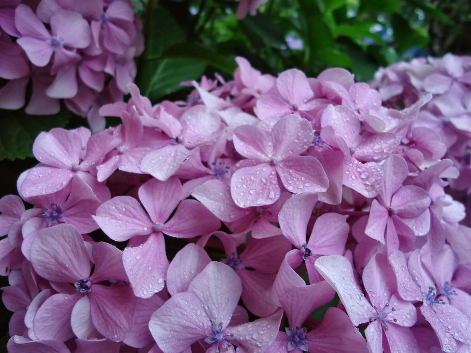 Flowers Lilac, Hydrangeas, Garden, Plants