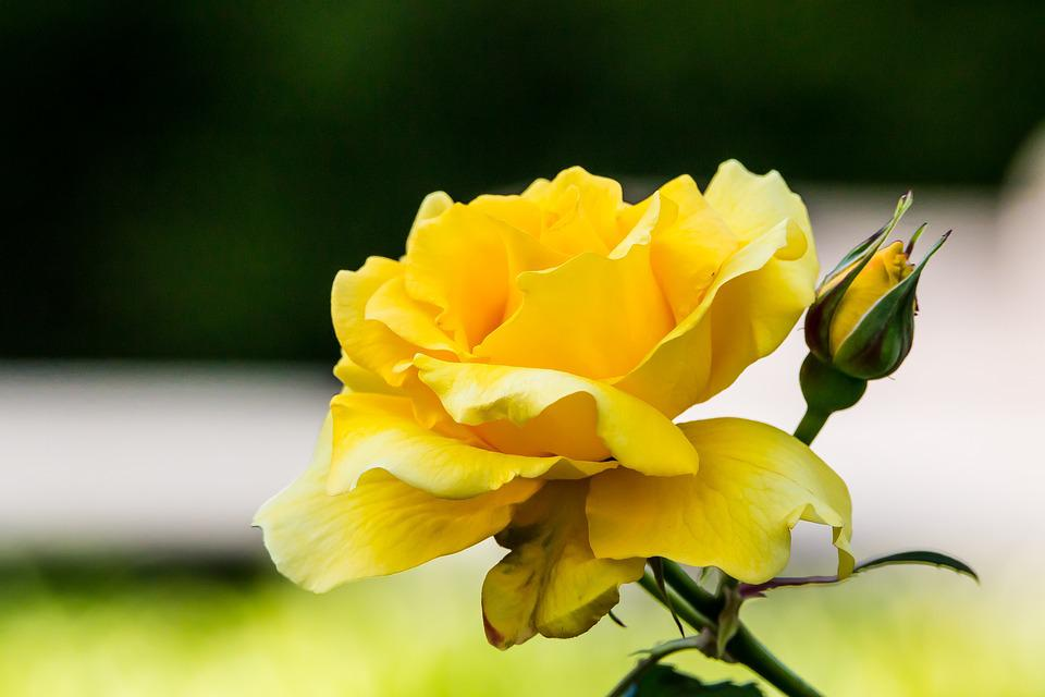 Flower, Rosa, Flowers, Nature, Yellow, Macro, Plants