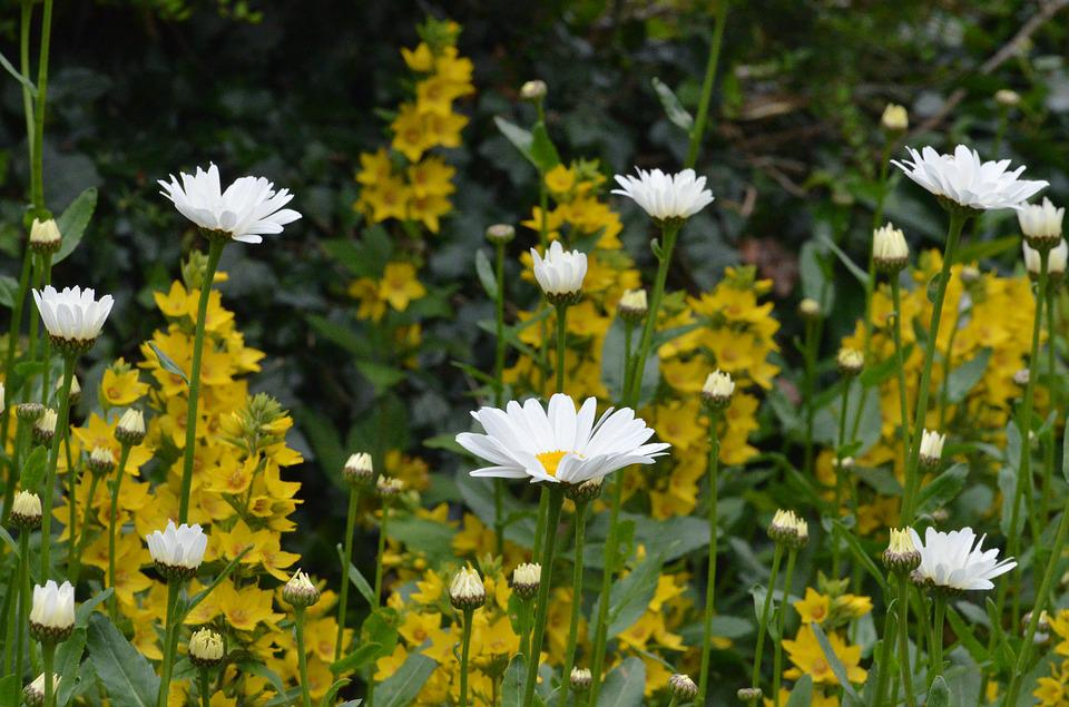 Daisies, Flowers, White Flowers, Plants, Nature, Garden