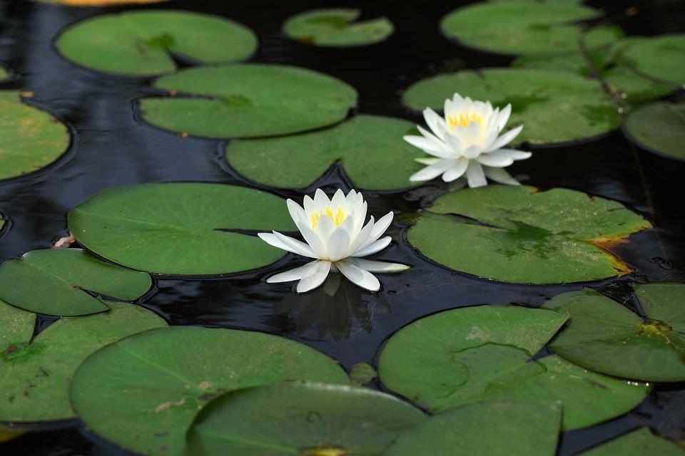 Lotus, Lily, Aquatic, Flowers, Leaf, Plants, Nature