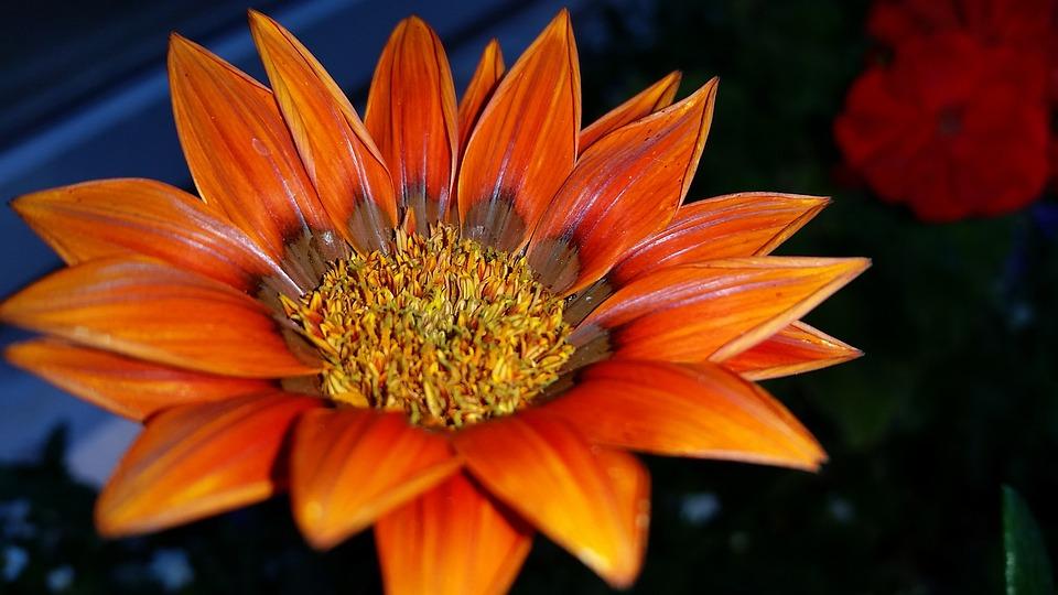 Gazania, Orange Flower, Garden, Plants, Flora
