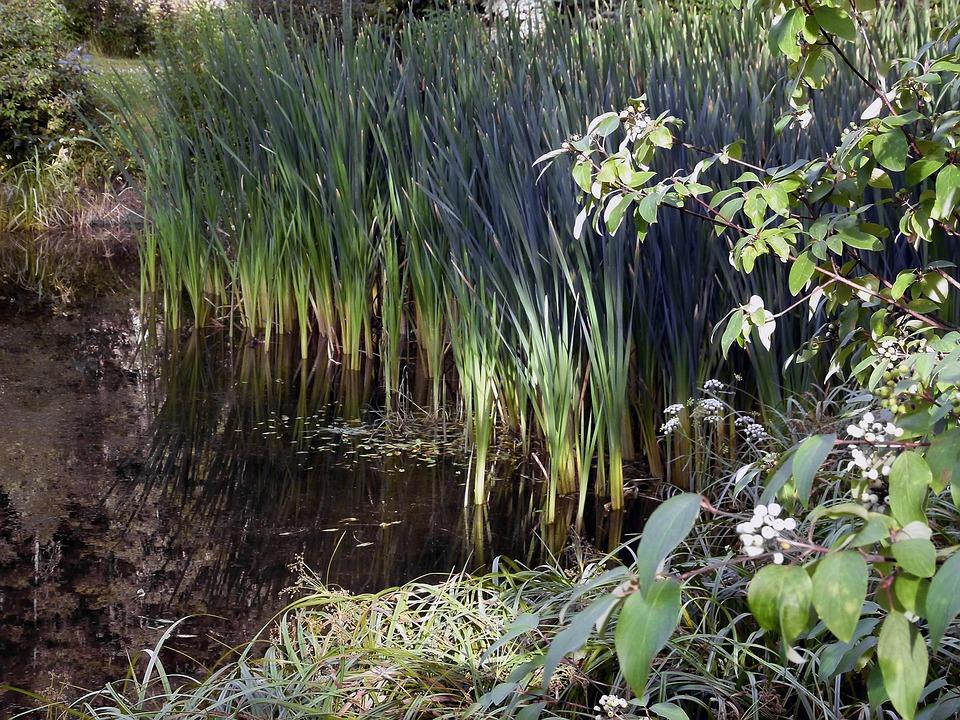 Reed, Swamp, Vegetation, Common, Wetland, Plants