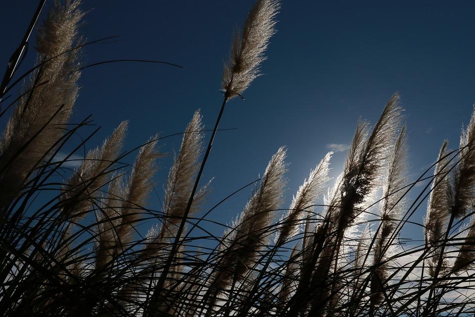 In Japan, Millet, Root-grass, Tall Grass, Plants