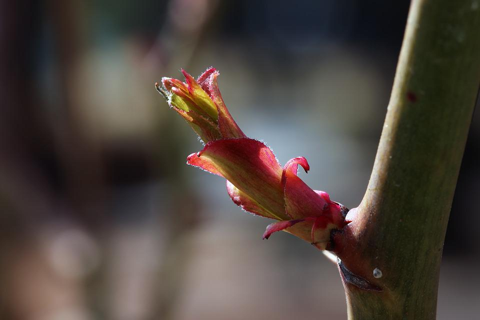 Rose, Bud, Nature, Plants, Garden, The Leaves