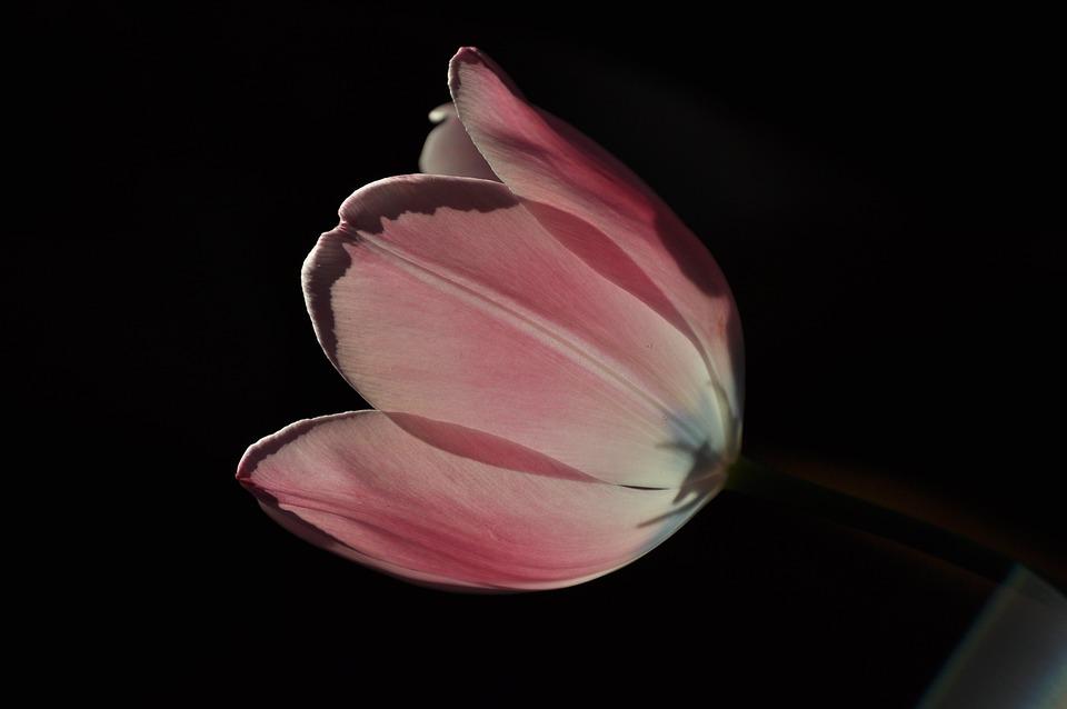 Tulip, Flower, Pink, Spring, Garden, Plants, Flowers