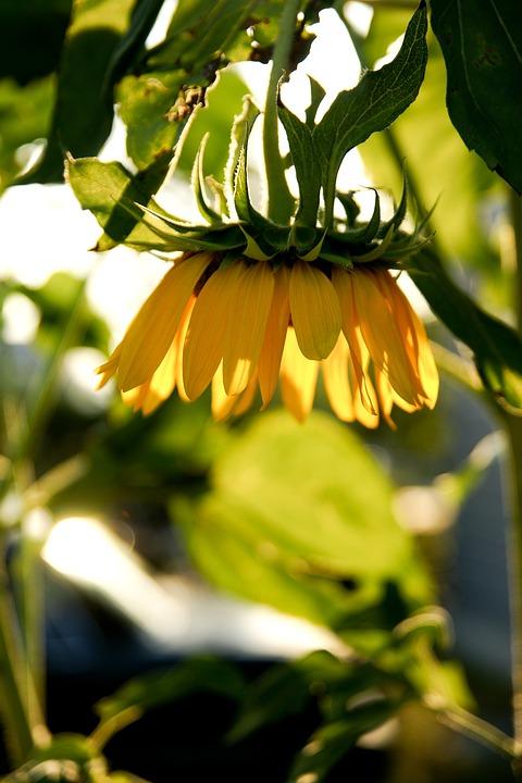Sunflower, Plants, Sunshine, Autumn