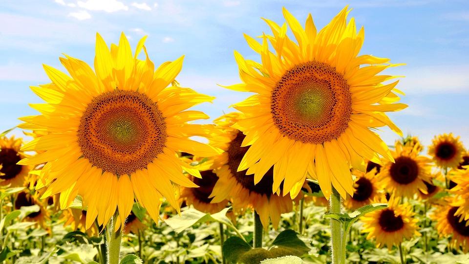 Sunflower, Yellow Flower, Sunflower Field, Plants