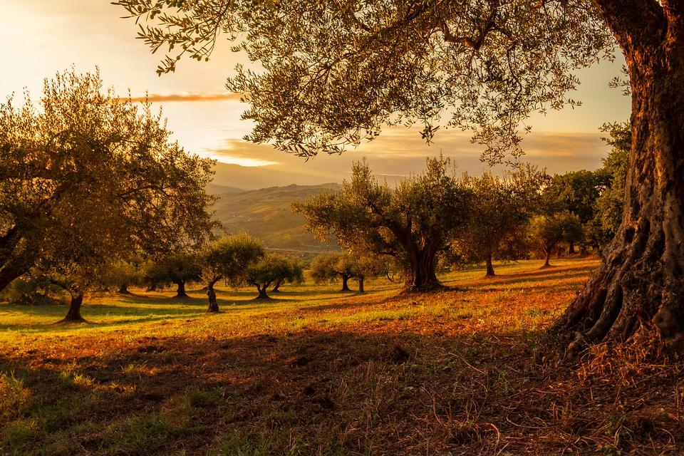 Plantation, Sunset, Nature, Plants, Landscape, Olives