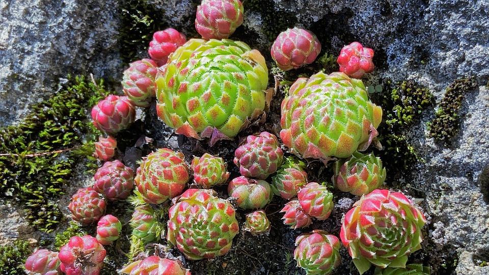Succulents, Plants, Swarm Sempervivum