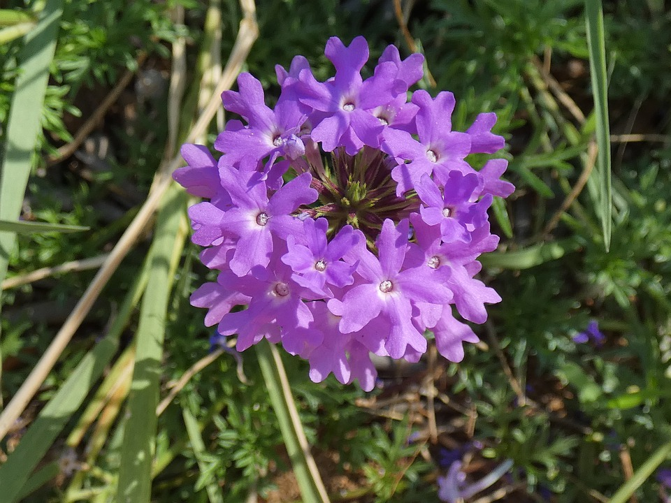 Flower, Violet, Plants, Verbena, Glandularia Peruviana
