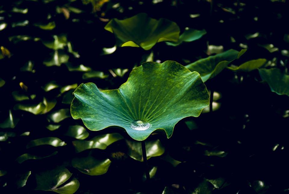 Lotus, Leaf, Water, Nature, Pond, Plants