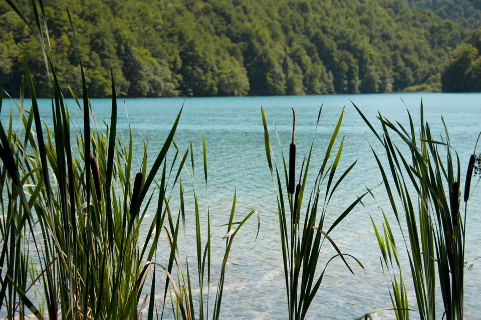 Reed, Water, Summer, Landscape, Nature, Plants