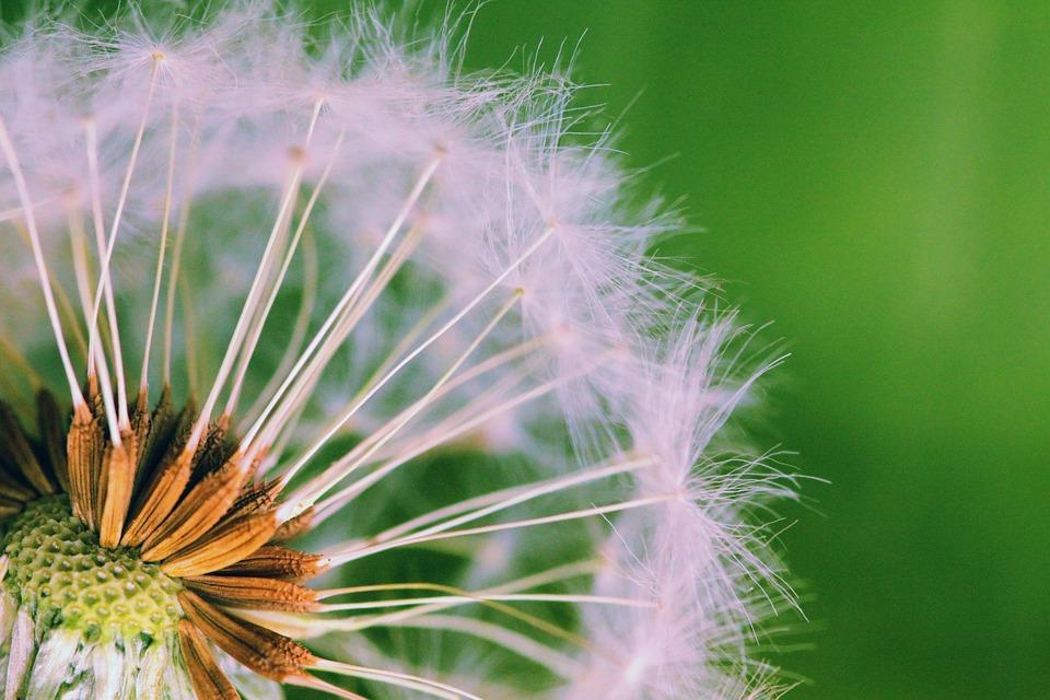 Dandelion, Weed, Seed, Seeds, Plants, Nature, Weeds